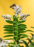Bee pollinating Stock Photo