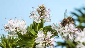 Bee pollinating Royalty Free Stock Photos