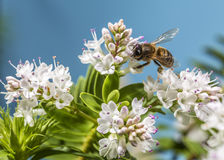 Bee pollinating Stock Image