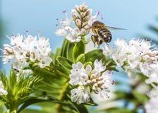 Bee pollinating Stock Photos