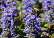 Bee pollinating field of ajuga - green eyes Royalty Free Stock Photos