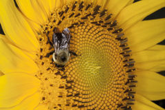 Bee Pollinating a Flower. Close-up of a bee feeding on nector and pollinating a sun flower. Plant reproduction, Mutualism stock photos