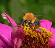 Bee pollinating flower. In the garden Royalty Free Stock Photos