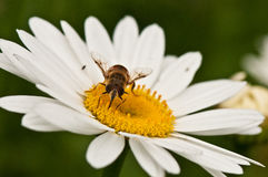 A bee pollinating flower Royalty Free Stock Photography