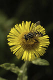 Bee pollinating flower Stock Image