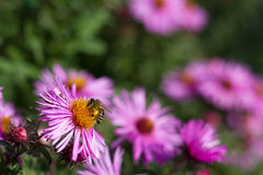 Bee pollinating flower Stock Images