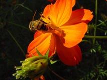 Bee pollinating flower. Macro view of bee pollinating blooming orange flower outdoors Stock Images
