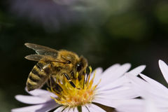 Bee pollinating a flower. On black background Royalty Free Stock Photography