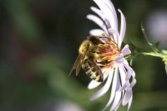 Bee pollinating a flower. On black background Stock Images