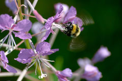 Bee pollinating flower. Bee pollinating lilac flowers of Lapland Rose-Bay plant Stock Photo