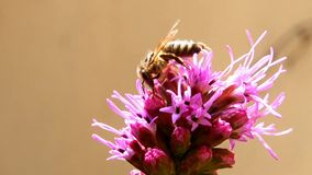 Bee pollinating a flower. Blazing star, liatris spicata stock video