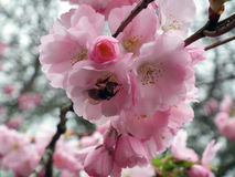 Bee pollinating a flower. Bee pollinating blooming cherry tree stock photos