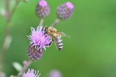 The Bee pollinating on the flower Royalty Free Stock Image
