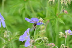 The Bee pollinating on the flower Royalty Free Stock Photography