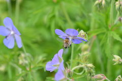 The Bee pollinating on the flower Stock Images