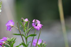 The Bee pollinating on the flower Stock Image