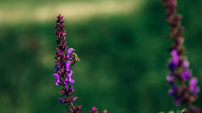 Bee Pollinating Flower. Closeup image. Selective Focus Royalty Free Stock Images