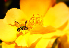 Bee pollinating flower Stock Photography