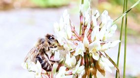Bee pollinating a flower clover. Detailed look at bee pollinating a flower clover stock footage