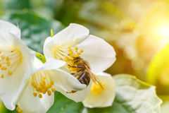 Bee pollinating flower. Royalty Free Stock Image