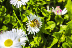 Bee pollinating a flower Royalty Free Stock Photography