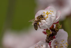 Bee pollinating a flower.  Royalty Free Stock Photos