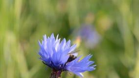 Bee pollinating a flower cornflowers. Cornflower - Centaurea stock video footage