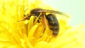 Bee pollinating  flower dandelion stock footage
