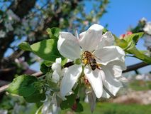 Bee pollinating a flower in the garden against the blue sky stock photo