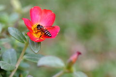 Bee Pollinating on Flower in the Garden. Closeup View of Pollination by Bee in the Garden Stock Images