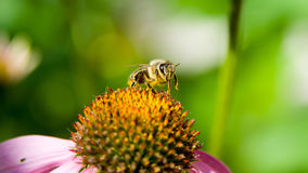 Bee pollinating a flower Royalty Free Stock Image