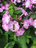 Bee pollinating a flower. A bee pollinating a group of pinkish-purple flowers in the RHS garden Royalty Free Stock Image