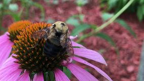 Bee pollinating a flower. A bee in nature pollinating a flower stock video