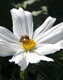 Bee pollinating flower Royalty Free Stock Photography