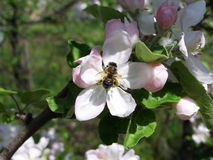 Bee pollinating a flower Royalty Free Stock Photos