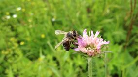 Bee pollinating flower stock footage