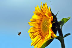 Bee pollinating the flower of a sunflower closeup Stock Photos