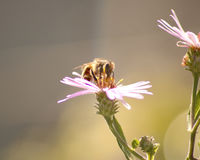Bee pollinating flower. Bee on top of a pretty flower Royalty Free Stock Image