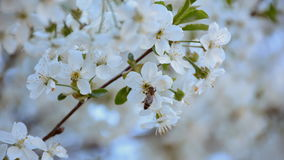 Bee pollinating flowering fruit trees in springtime. Slow motion.  stock video footage