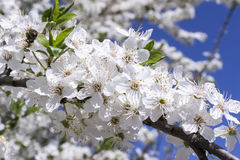 Bee pollinating flowering tree Stock Images