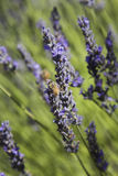 Bee Pollinating Flowers. A bee pollinating lavender flowers Royalty Free Stock Images