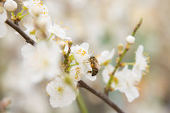 Bee pollinating flowers on branch of apricot Royalty Free Stock Photo