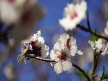 Bee pollinating flowers of cherry tree stock footage