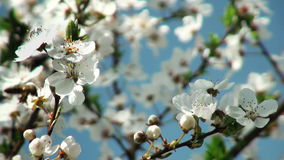 Bee pollinating flowers of cherry tree. Nature stock video footage