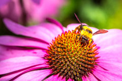 Bee are pollinating flowers. Stock Photo