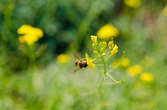 Bee pollinating a flower. Green nature background. Heat season Royalty Free Stock Photo