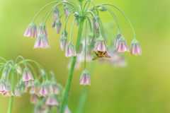 Bee pollinating flowers Stock Image