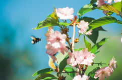 Bee pollinating flowers of of sakura Royalty Free Stock Photography