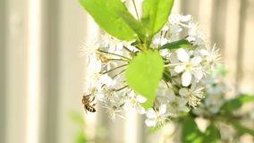 Bee pollinating flowers on the tree. A bee pollinating flowers on the tree stock footage