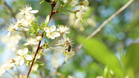 Bee pollinating flowers on the tree. A bee pollinating flowers on the tree stock video footage